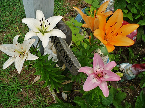 3 colors of lilies