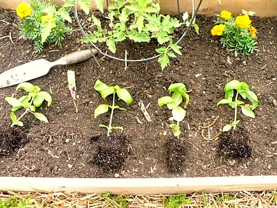 4 basil plants from one pot