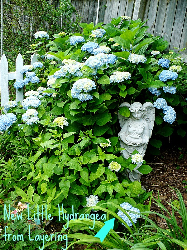 layering hydrangeas to propagate@ A Cultivated Nest