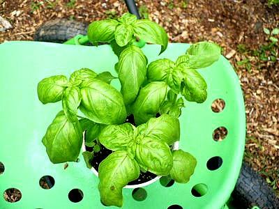 4 basil plants in a pot
