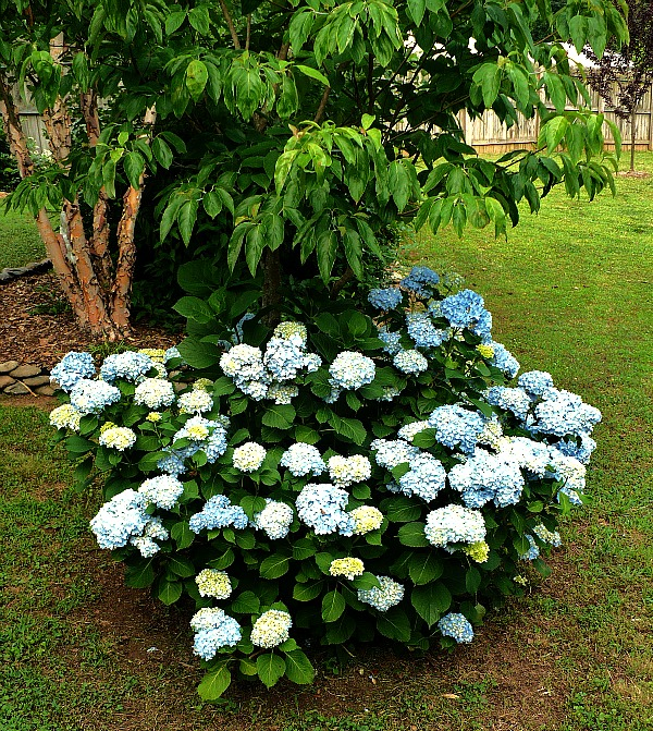 hydrangea growing under a dogwood tree