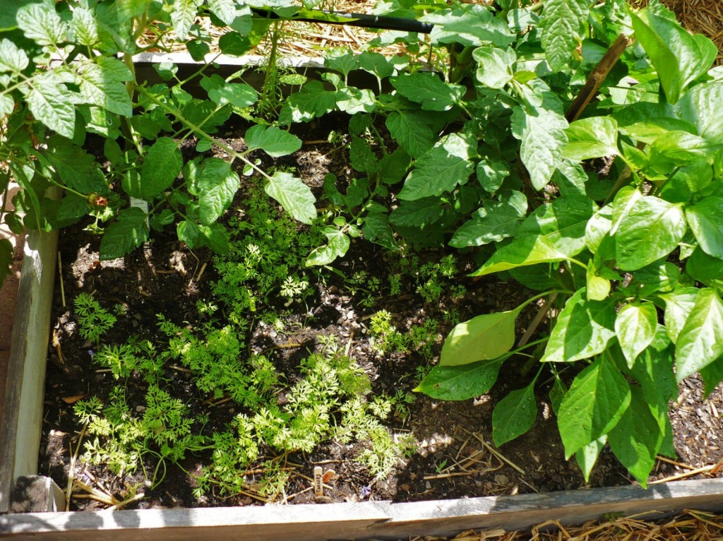 example of companion planting