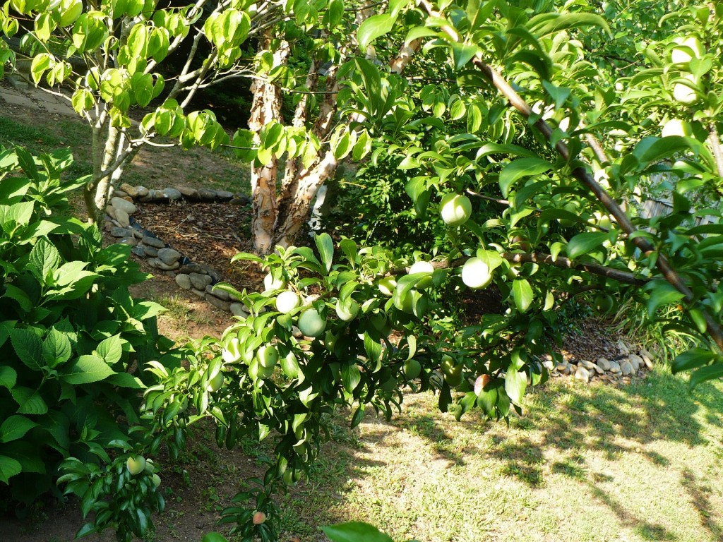 5 in 1 stone fruit tree