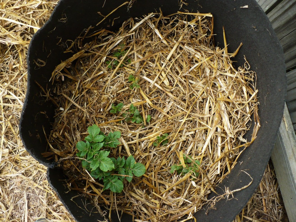 growing potatoes in a grow bag