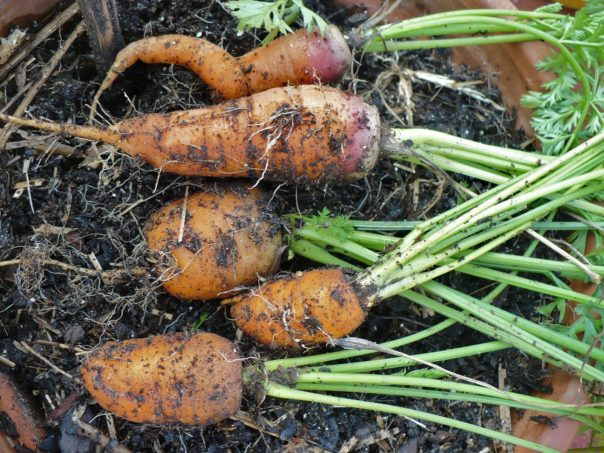 carrots grown in a container