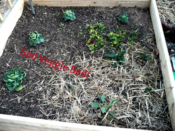 Raised bed with spinach and brusselsprouts