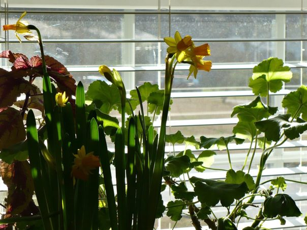 Petite daffodils