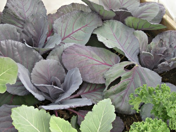 cabbage in a raised bed