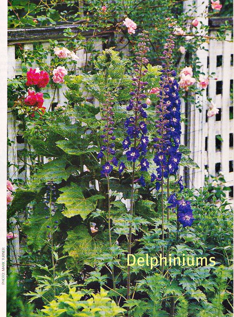 Delphiniums in a cottage garden