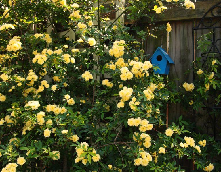 плетистая роза казино посадка и уход