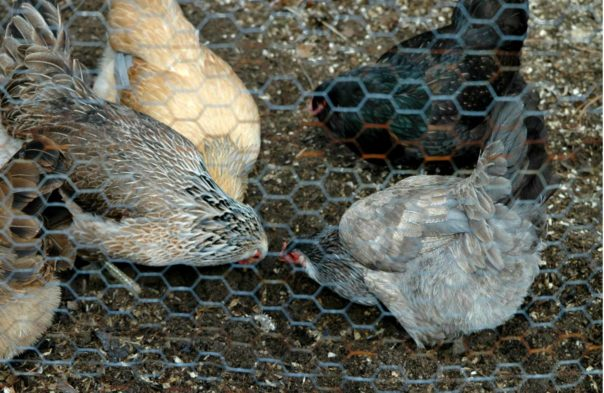chickens as natural composters
