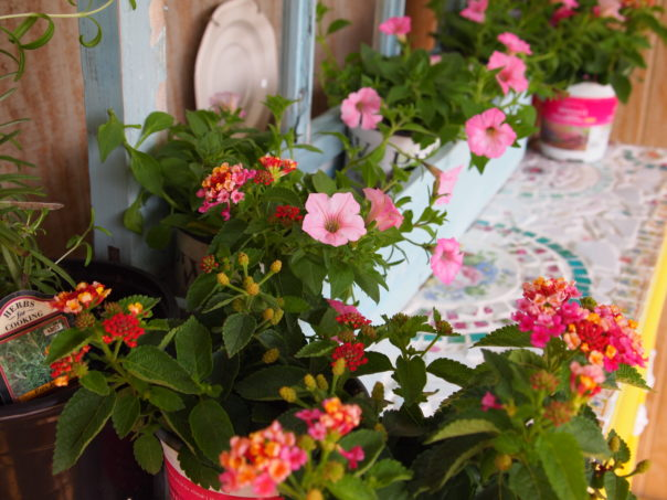 pink petunias & lantana
