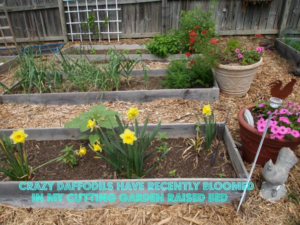 daffodils in a raised bed