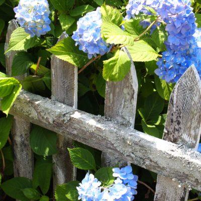 hydrangeas on a picket fence