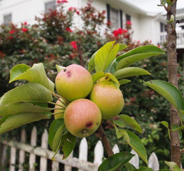 columnar apples