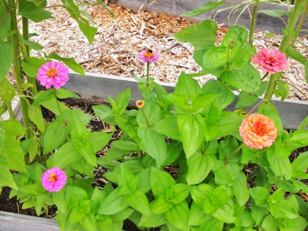 zinnia in a raised bed