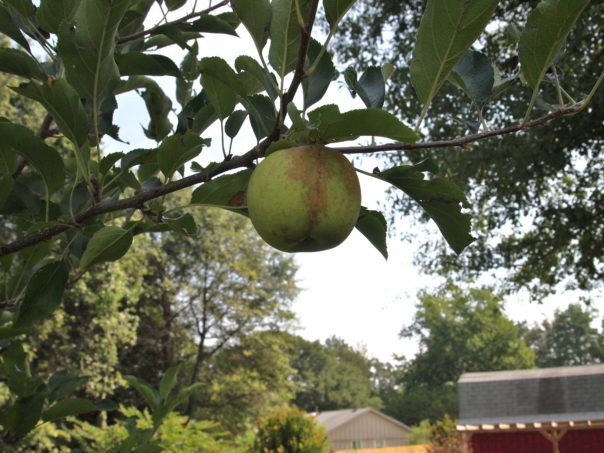 granny smith apple on tree