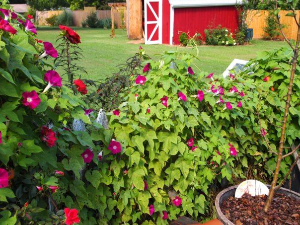 vines on picket fence