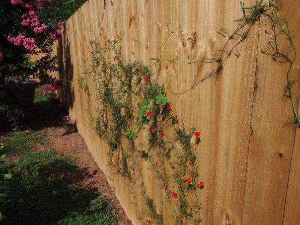 red flowered vine
