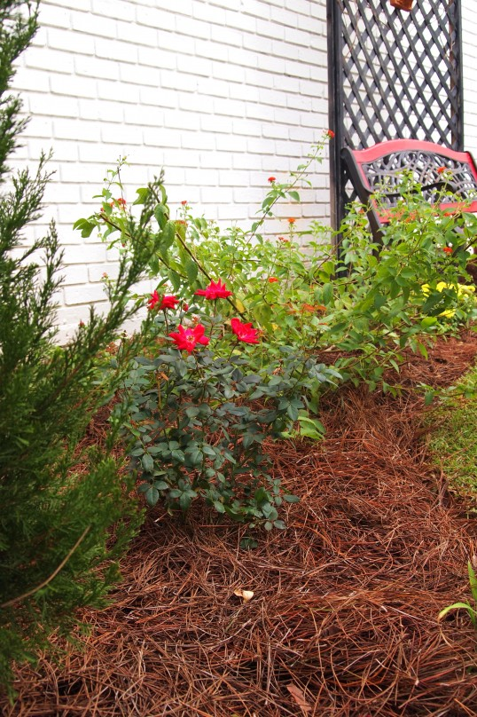 1 gallon double knockout rose