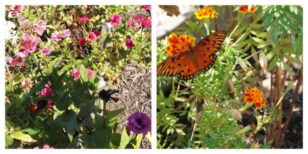 zinnias & butterfly