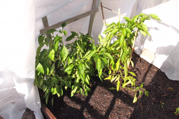 bell peppers growing under row covers