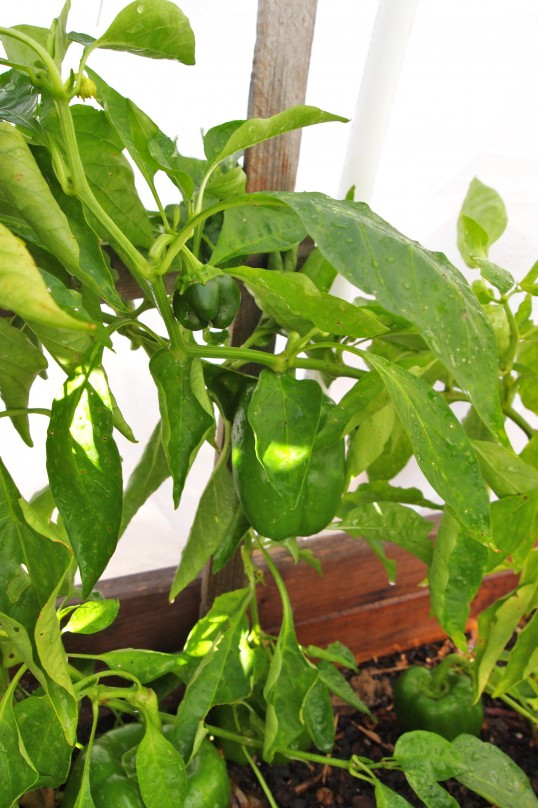 green peppers under row covers