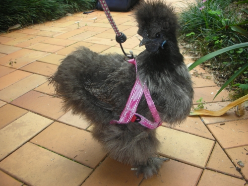 leash for chickens