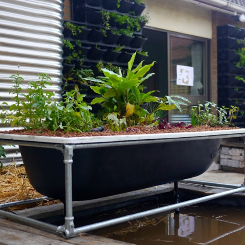 Making a Garden in a Bathtub- Using an old bathtub as a container garden is easy, beautiful, and useful, too. They can hold a lot of plants and enhance your design! | upcycle bathtub, recycle bathtub, ways to use a vintage bathtub, #gardeningTips #gardenDIY #containerGarden #gardeningDIY #ACultivatedNest