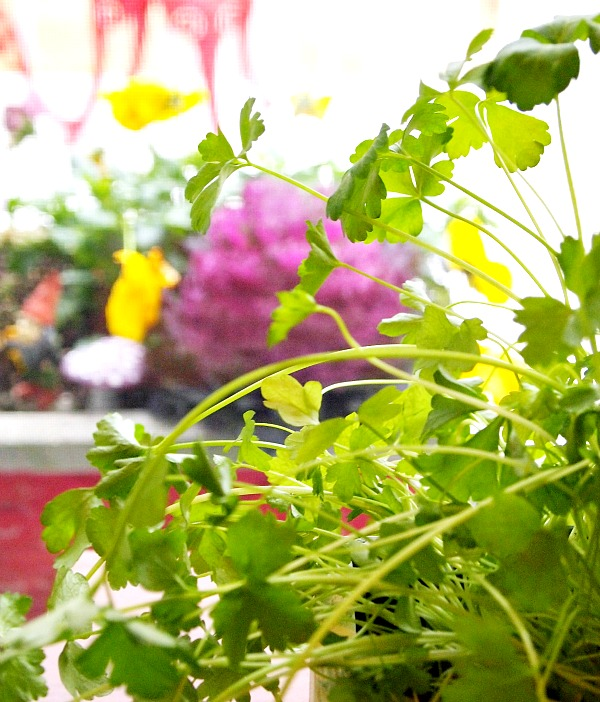 7 Tips for Growing Parsley- Stop buying parsley at the grocery store and grow your own that you can use fresh! Here are my 7 top tips for growing parsley! | #gardening #parsley #herbs #growYourOwn #herbGarden #garden #gardeningTips