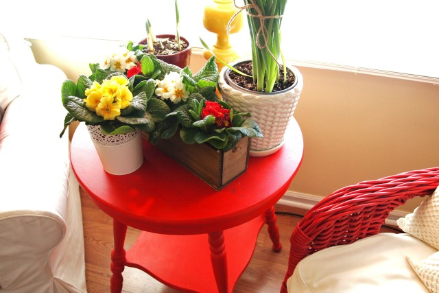 red table with primroses