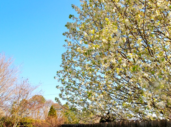 Bradford Pear tree leafing out