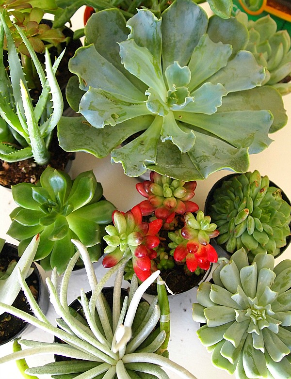 Variety Of Succulents For Dish Garden