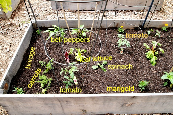 bell peppers & tomatoes planted in a raised bed