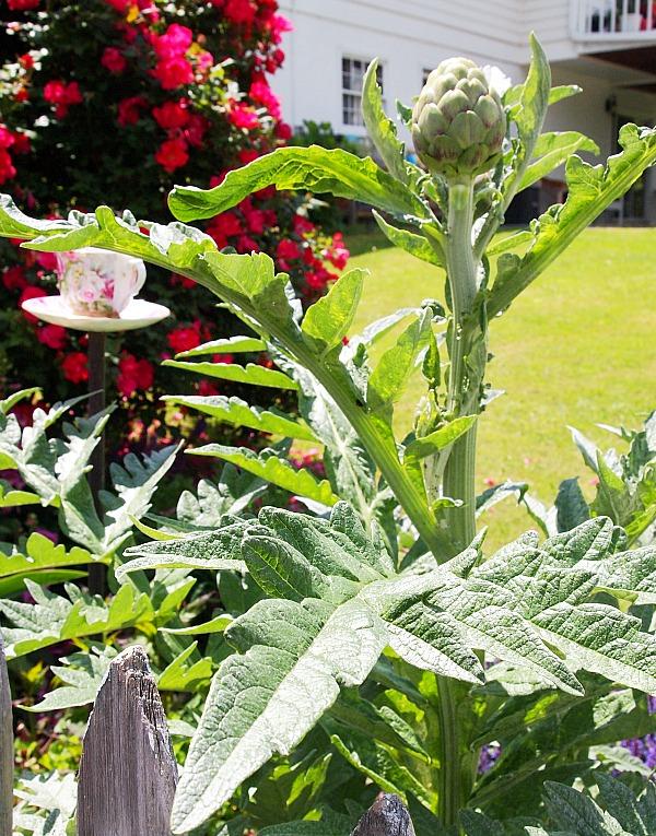 artichoke growing on plant