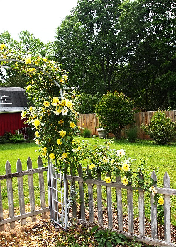 yellow climbing rose on arbor
