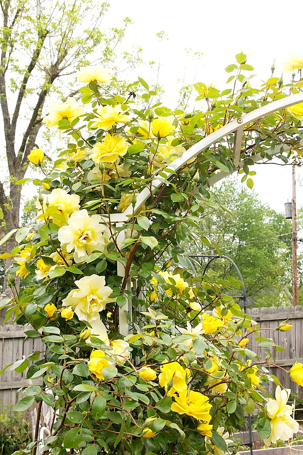 yellow roses on arbor