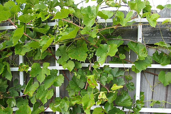 grapes growing along a back fence