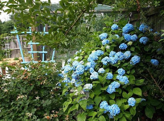 hydrangea next to a rose bush