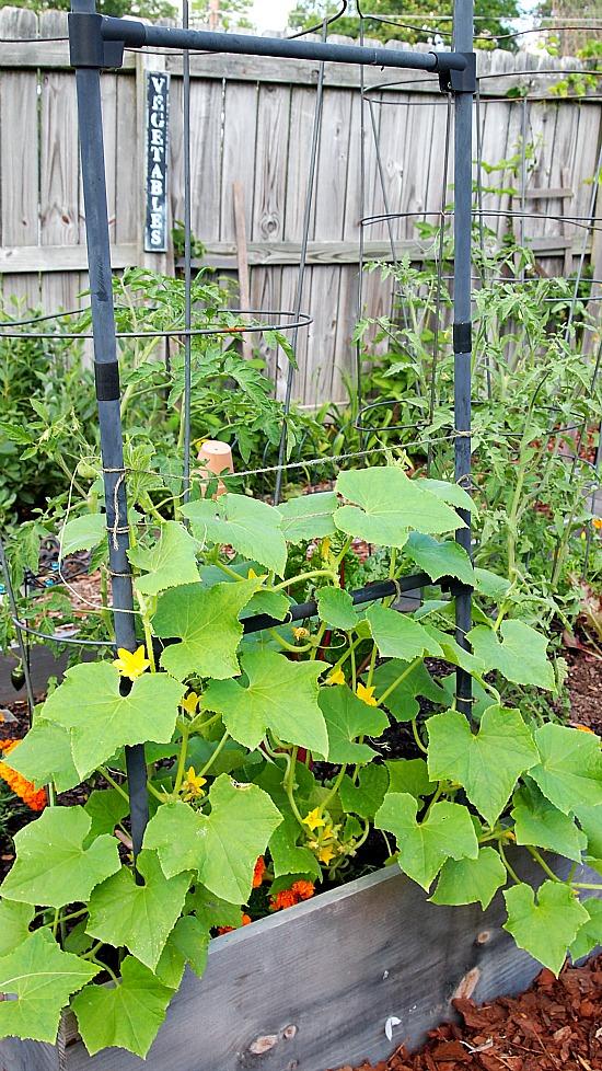 lemon cucumber growing up an arbor