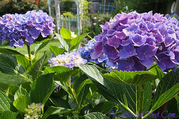 A Cultivated Nest purple hydrangea plants