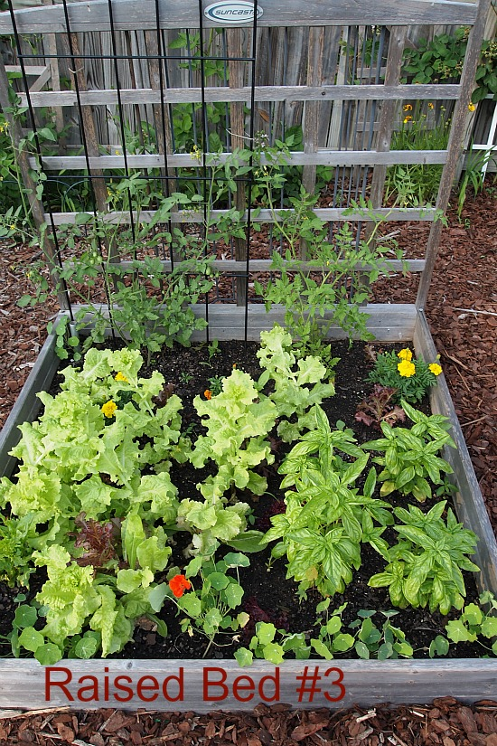tomatoes planted with basil and lettuce