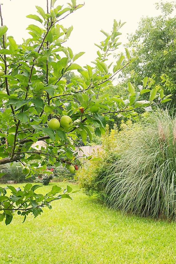 apples on a young apple tree