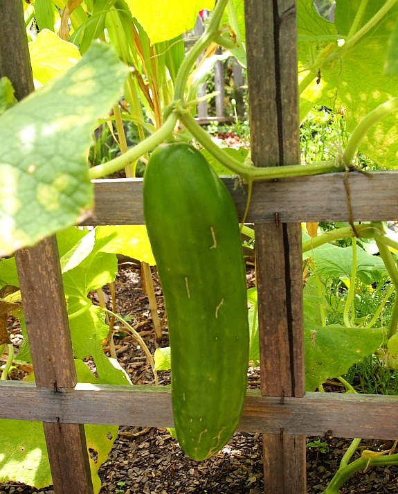 cucumber in a raised bed