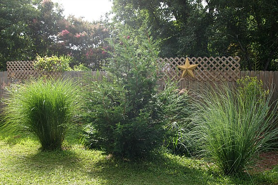 grasses and leyland cypress border