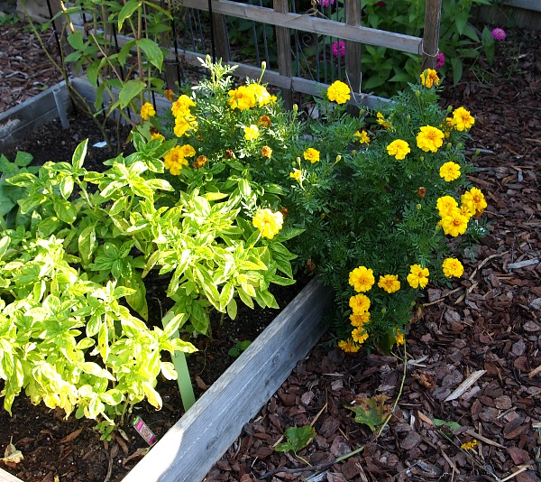 basil, swisschard & marigolds in a raised bed