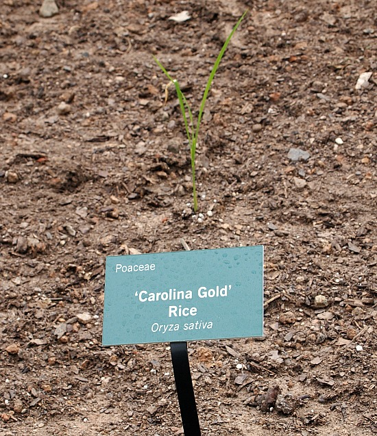 growing Carolina gold rice