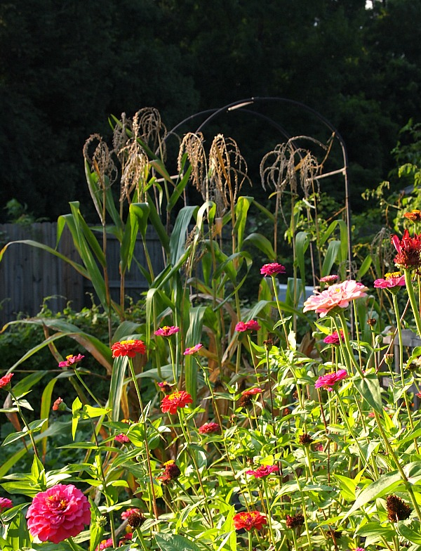 corn stalks and zinnias