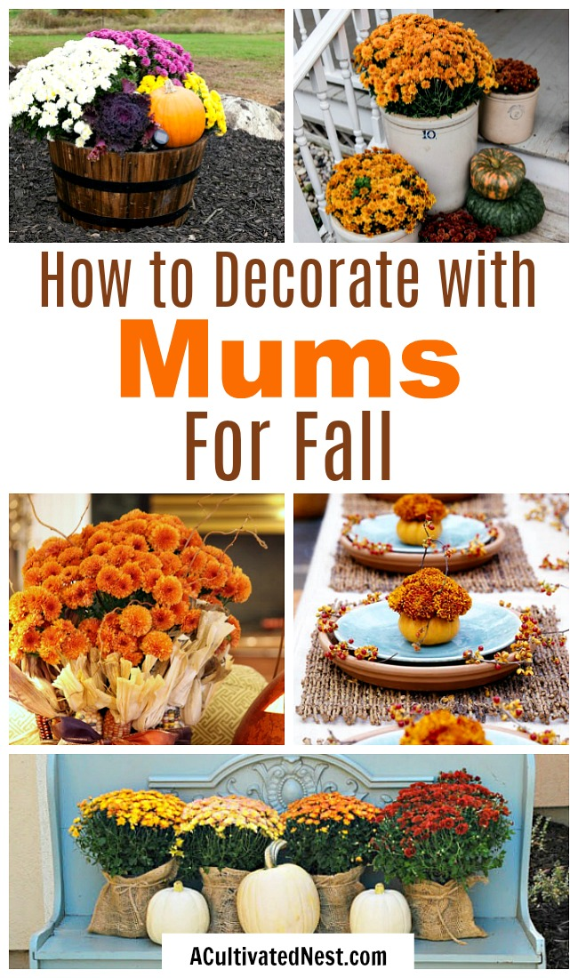 Decorating with Mums for Fall- There are so many fun ways to decorate for fall using mums. For some creative inspiration, check out these ideas for decorating with mums! | floral decoration, floral decor, easy ways to decorate your home for fall #fall #decor #autumn #flowers #mums #chrysanthemums #decorating #ACultivated Nest