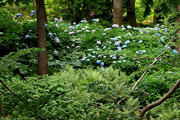 hydrangeas at the Atlanta Botanical Garden